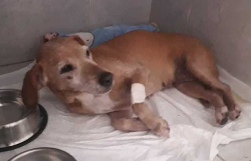 Cachorra é atropelada, motorista nega ajuda, mas protetora a salva