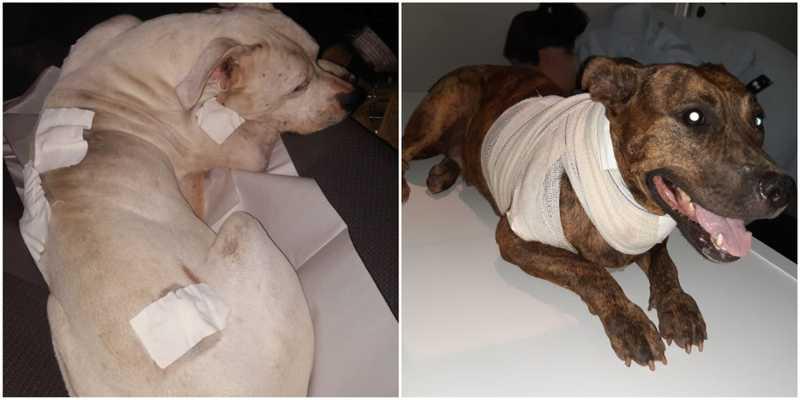 Casal de pit bulls sobrevive após ser esfaqueado e jogado em praia de SP
