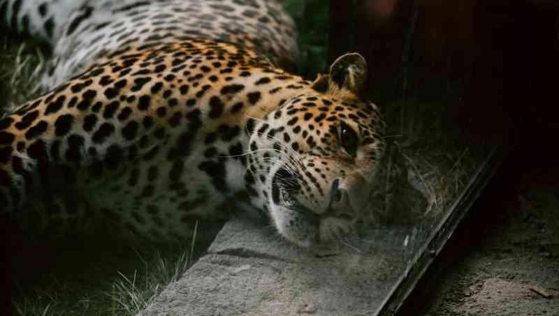 Caçadores arrancam os dentes e as patas de um leopardo e o jogam no rio