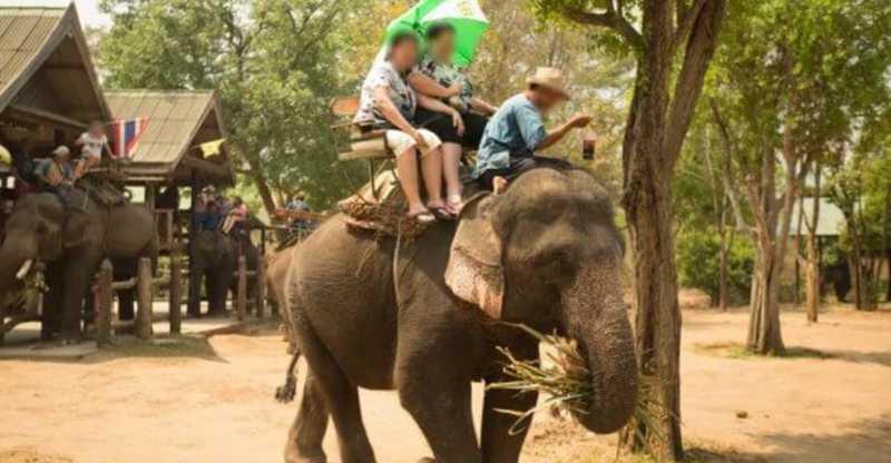 78 elefantes são libertados por falta de turistas para montá-los graças a pandemia do novo coronavírus