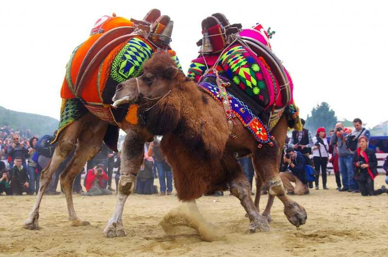 Camelos são colocados para lutar brutalmente na Turquia enquanto espectadores torcem e comem carne de camelo