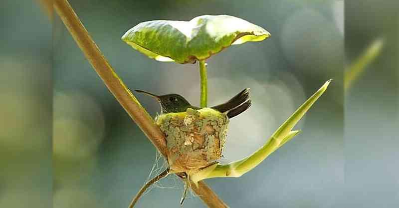 O beija-flor 'grávida' constrói ninho com teto para cuidar de filhotes futuros. Inteligência de mãe