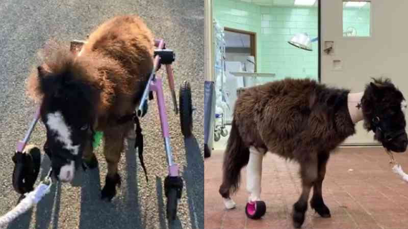 Cavalo volta a andar após receber cadeira de rodas; veja