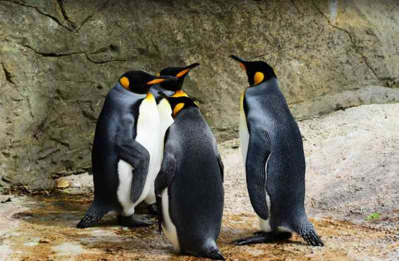 Quase 1 milhão de pinguins-rei sumiram do mundo