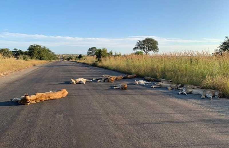 Sem turistas, leões são flagrados dormindo na estrada de uma das maiores reservas de animais da África