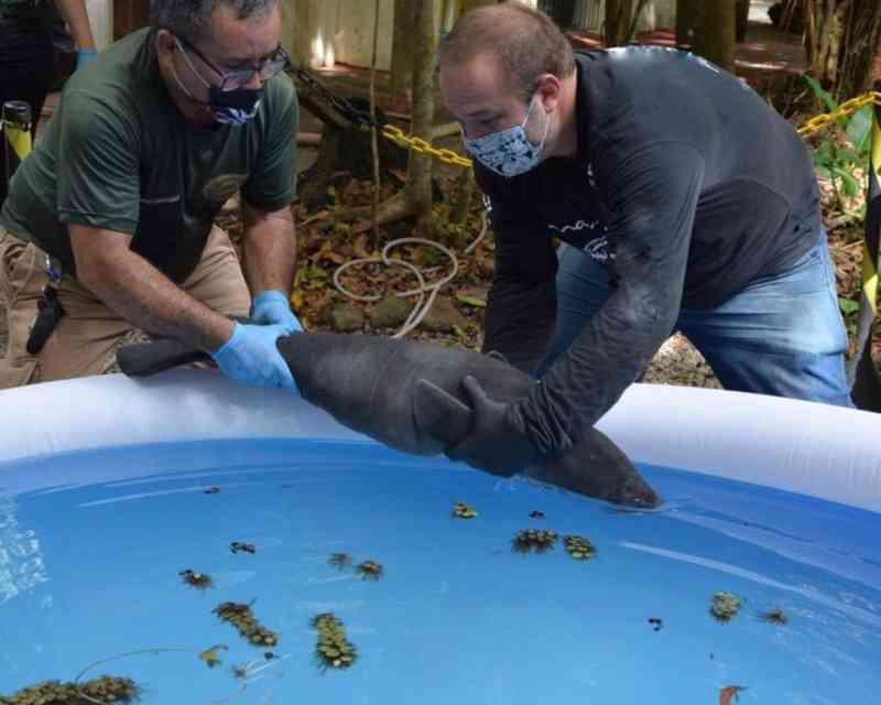 Peixe-boi filhote resgatado no Rio Amazonas inicia tratamento para retorno ao habitat