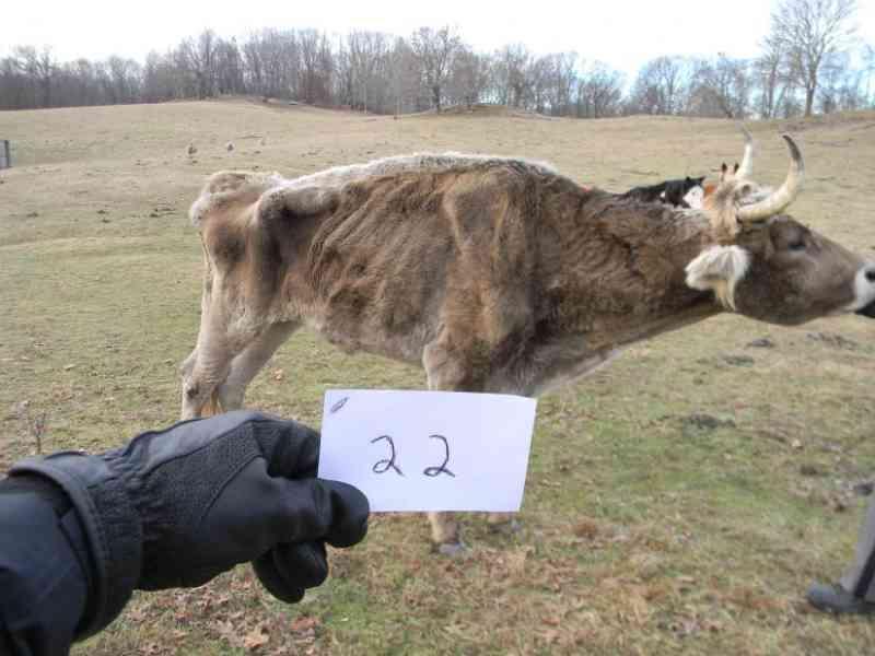 Animais severamente maltratados se recuperam em fazendas de Amenia, EUA: negligência resulta em prisão