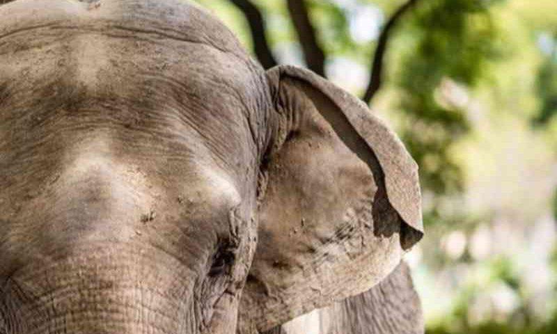Com fronteiras fechadas, viagem de elefanta da Argentina para o Santuário dos Elefantes em MT é adiada