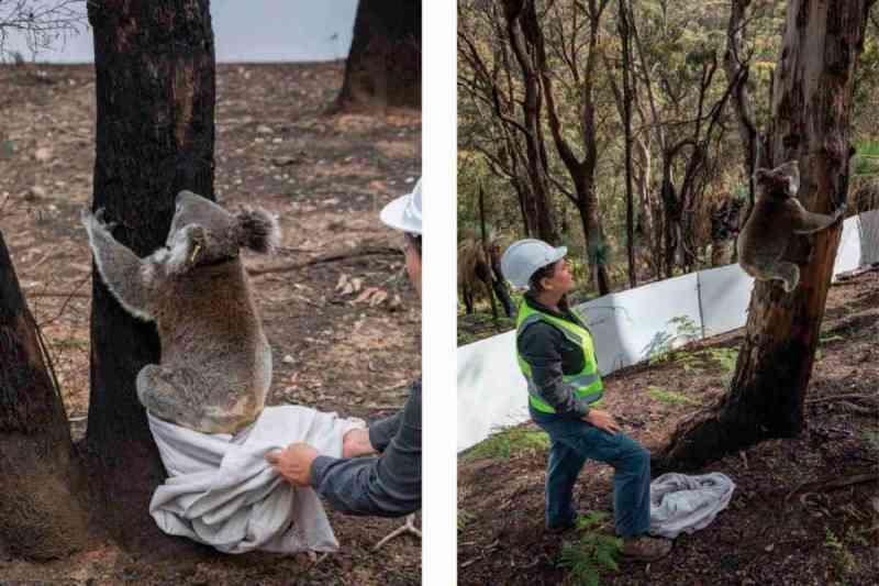 Após os incêndios na Austrália, os coalas curados voltam para casa em seus eucaliptos