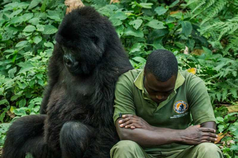 Guarda florestal da ICCN com um gorila no Parque Nacional de Virunga, RDC. Nelis Wolmarans.