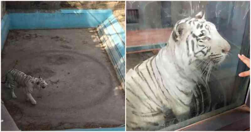 Tigre branco estressado caminha em círculos sem parar em recinto apertado na China