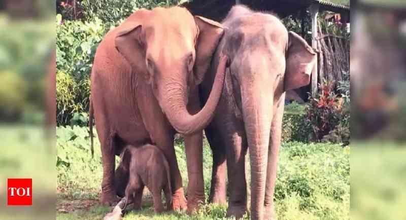 Sem alimentação, elefantes pagam o preço pelo confinamento em Goa, na Índia