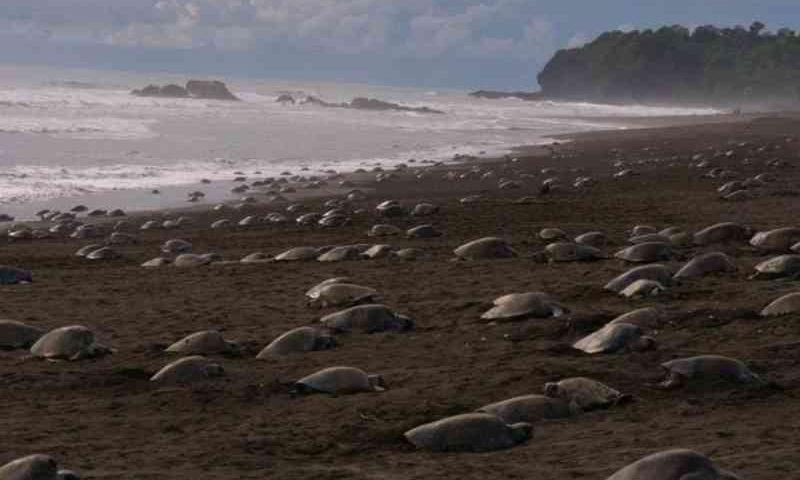 Coronavírus: sem turistas, tartarugas retornam em massa para fazer seus ninhos nas costas indianas