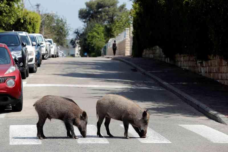 Javalis selvagens passeiam nas ruas e quintais de cidade israelita