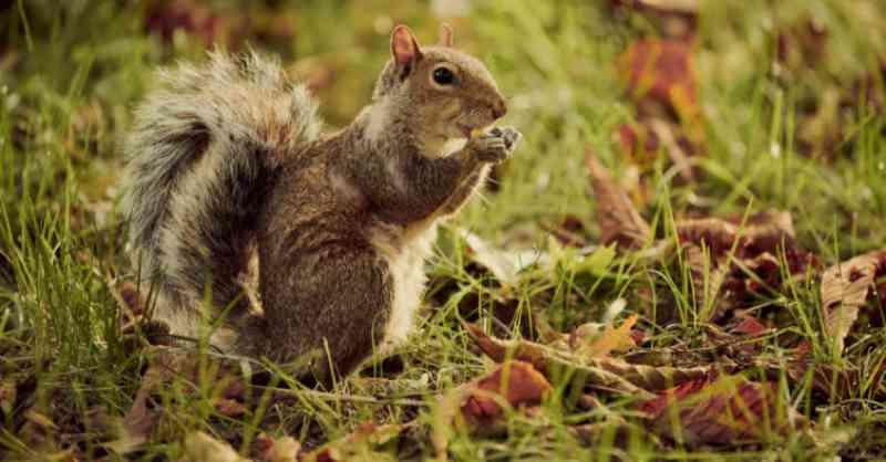 Com as pessoas em casa, os esquilos invadem os parques de Los Angeles