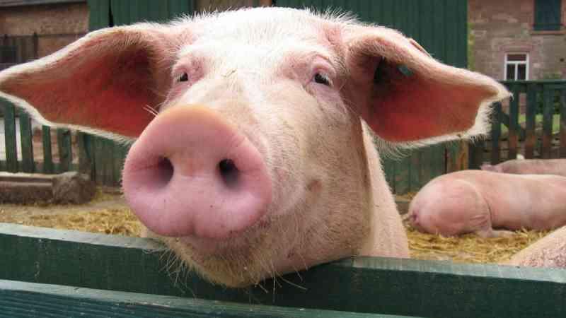 Grupo de direitos dos animais registra queixa criminal contra abatedouro de porcos que ficaram queimados