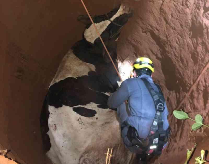 Bombeiros resgatam vaca que caiu em buraco de mais de dois metros em Ituiutaba, MG