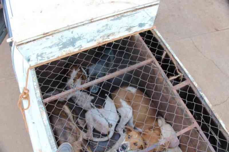 Ministério Público pede que ONGs tenham a guarda provisória de 18 cães 'de caça' apreendidos pela PMA em Alvorada do Sul, MS