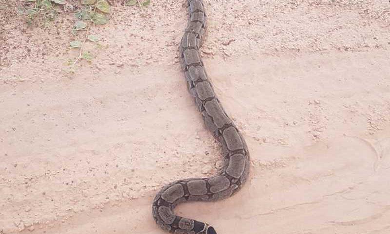 Cobra foi solta em área de vegetação distante da cidade — Foto: PMA/Divulgação