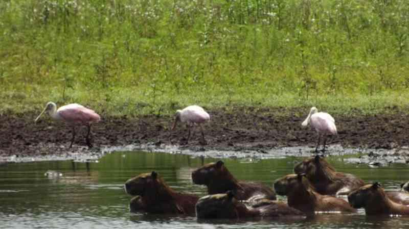 Presidente do Tribunal autoriza desmatamento de 22 mil ha em duas fazendas do Pantanal; MP prevê morte de animais