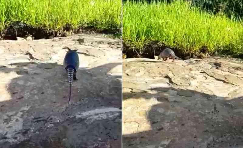 Tatu-galinha é perseguido e capturado por populares em Piripiri, PI; bombeiro salva animal