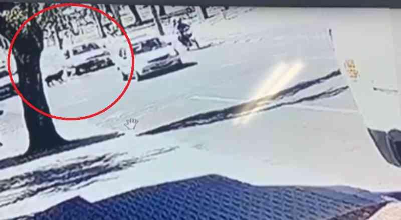 Câmera mostra cão sendo atropelado e motorista deixando local sem prestar socorro