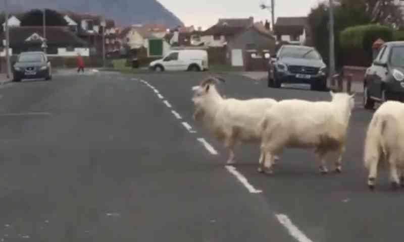 Cabras selvagens invadem cidade no País de Gales após isolamento