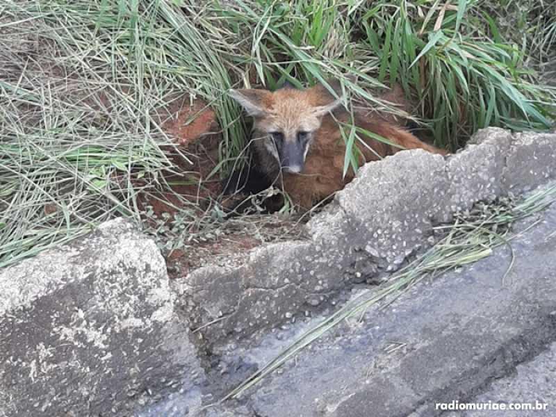 Corpo de Bombeiros resgata lobo-guará atropelado na BR-116, em Muriaé, RJ