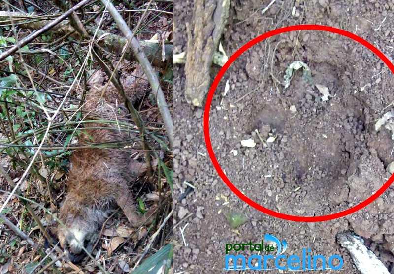 Cão encontrado morto no interior de Marcelino Ramos (RS) pode ter sido atacado por onça