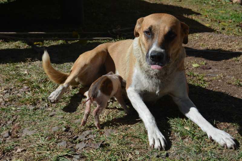Vídeo: cadela adota porquinho e o amamenta em Santa Maria do Herval, RS