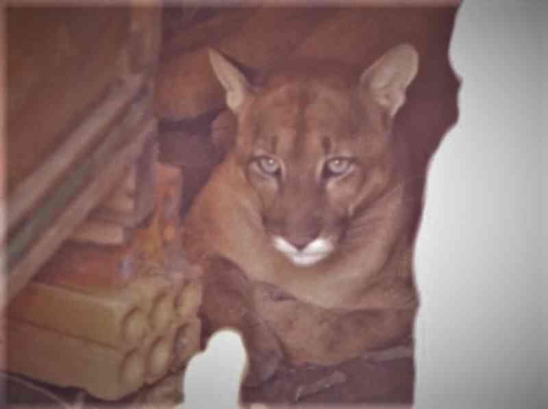 Homem encontra leão-baio dentro de sua residência no bairro Vila Formosa, em Mafra, SC