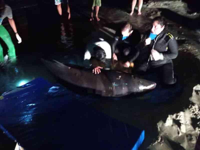 Morre filhote de baleia encalhado em Bertioga, SP