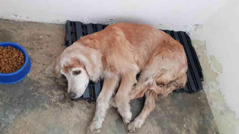 Cocker idosa é atropelada em Limeira (SP) e precisa achar a família