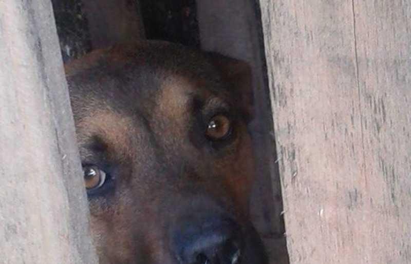 Cachorra que viveu 1 ano dentro de caixa de madeira precisa de adoção em Campinas, SP