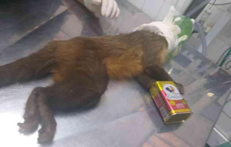 Macaco é resgatado com lata de óleo presa na pata no interior de SP; vídeo