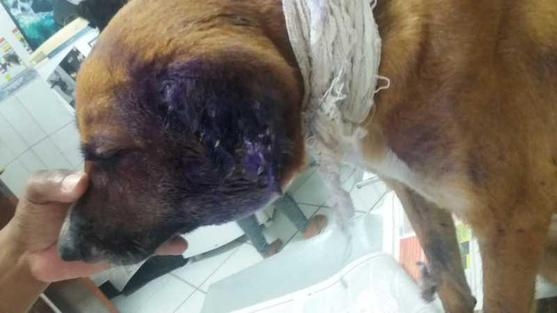 Cachorro 'comido vivo' por larvas em SP é adotado após ter pata amputada