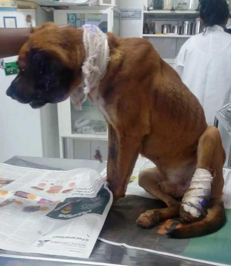 Valente recebeu os cuidados necessários em uma clínica veterinária em Registro (SP) — Foto: Márcia Colla