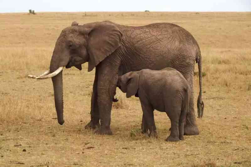 Coronavírus fecha parques na Tailândia e elefantes passam fome