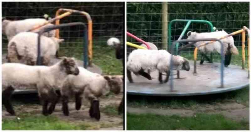 Cordeiros são flagrados brincando em um parque infantil durante a quarentena