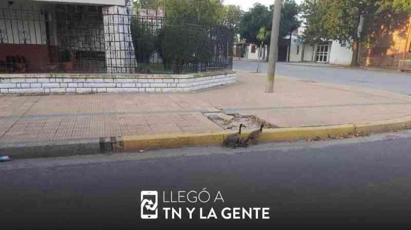 Desde um jacaré até patos: os animais ganham as ruas diante da quarentena