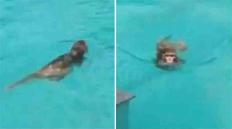 Macacos nadam e se divertem em piscina de prédio vazia por quarentena; veja vídeo