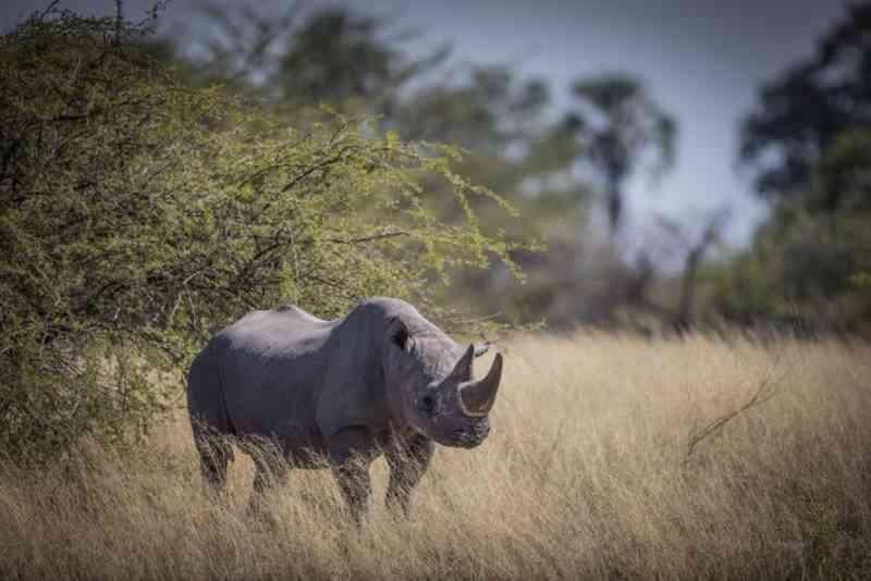 Botsuana está a realocar rinocerontes-negros ameaçados pela caça furtiva