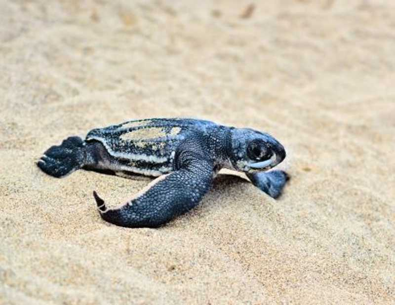 Filhote de uma tartaruga de couro a caminho do mar