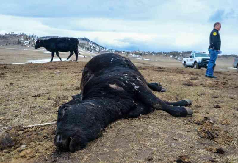 Autoridades descobrem rebanho de vacas famintas na região central de Montana, EUA