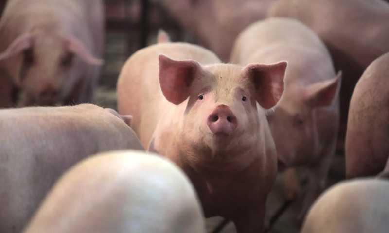 Fechamento de frigoríficos nos EUA gera abate de animais por asfixia, afogamento e tiro