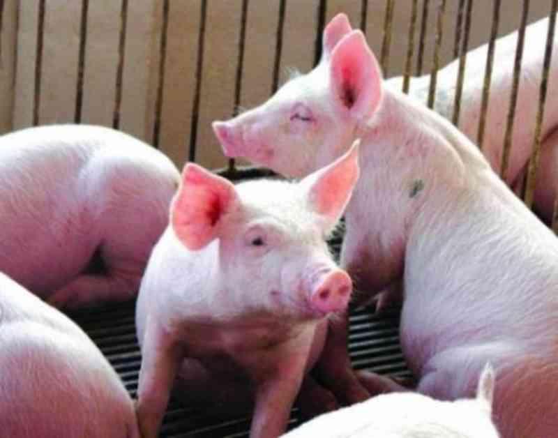 JBS reabre unidade nos EUA apenas para abater porcos, sem produção de carne