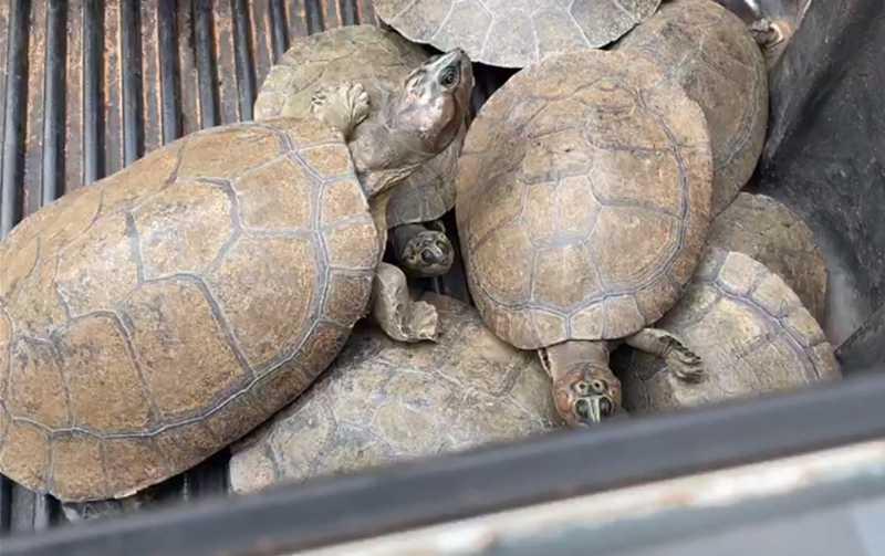 Tartarugas recuperadas pela Polícia Militar em São Miguel do Araguaia — Foto: Reprodução/PM