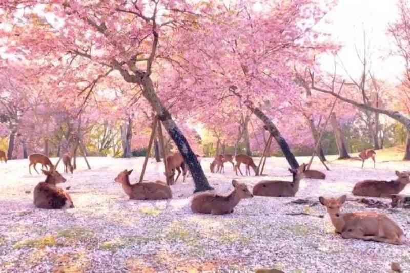 Dezenas de cervos descansam sob as cerejeiras em flor no Japão