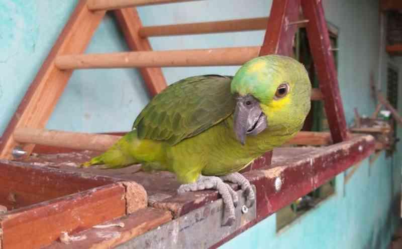 Morador de Ituiutaba (MG) é flagrado com aves silvestres mantidas em cativeiro ilegal