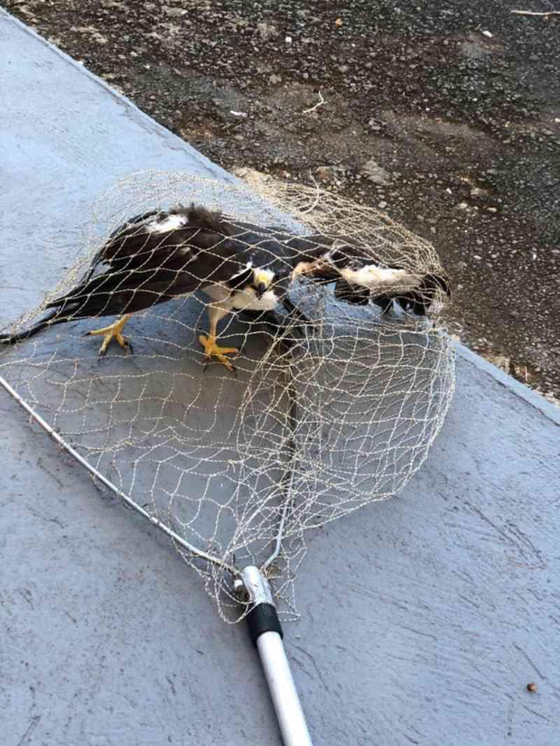 Corpo de Bombeiros captura gavião com asa ferida em Montes Claros, MG